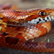 Corn snake — Stock Photo