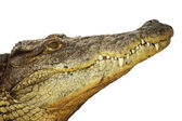 Picture of the head of an dangerous alligator — Stock Photo