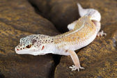 Leopard gecko eublepharis macularius — Stockfoto