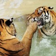 Tigers fighting — Stock Photo