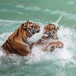 Tigers fighting — Stock Photo #34317099
