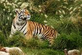 Tigre descansando — Foto Stock