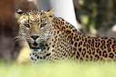 Leopardo di riposo — Foto Stock