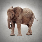 Afrika fili — Stok fotoğraf