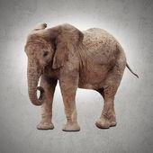 Słoń afrykański — Zdjęcie stockowe