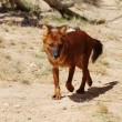 Dingo — Stock Photo #36087945