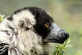 白领狐猴 — 图库照片