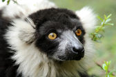 White-collared lemur — Stock Photo