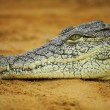 Stock Photo: Nile crocodile