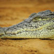 Nile crocodile — Stock Photo