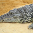 Nile crocodile — Stock Photo #39608573