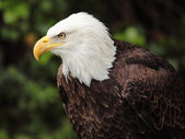 Bald eagle — Stockfoto