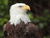 белоголовый орлан — Стоковое фото