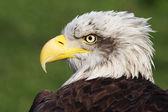 Bald eagle — Stock Photo