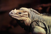 Cyclura Cornuta — Stock Photo