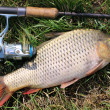 Stock Photo: Fishing catch - carp