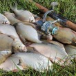Fishing catch - bream - Stock Photo
