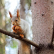 Squirrel on a branch of pine — Stock Photo #14347713