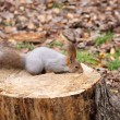 Squirrel on a stump — Foto de Stock