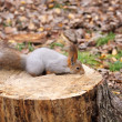 Squirrel on a stump - Stock Photo
