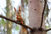 Squirrel on a branch of pine — Stock Photo