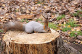 Squirrel on a stump — Stock Photo