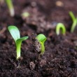 Small green seedling — Stock Photo #23584053