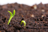 Small green seedling in the ground — Stok fotoğraf