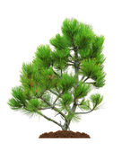 Pine, isolated — Stock Photo