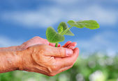Hand holding cucumber seedling — Stock Photo