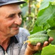 Several cucumber in a hand of farmer — Stock Photo