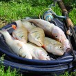 Stock Photo: Fishing catch - zander, chub and perch