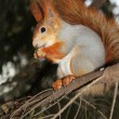 Squirrel on a branch of pine with a meal in the hands — Stockfoto