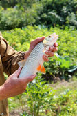 Chub in the hand of fisherman over green background — Stock Photo