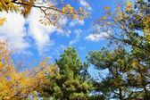 Fall treetops in autumn — Stock Photo