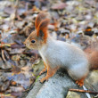 Squirrel standing on the ground — Stock Photo