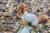 Eichhörnchen stehen auf dem boden — Stockfoto