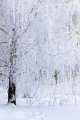 Birch branches covered with frost and snow — Foto Stock