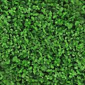 Green grass clover seamless texture — Stock Photo