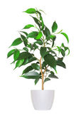 Houseplant - yang sprout of ficus a potted plant isolated over w — Stock Photo