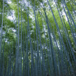 Bamboo forest seen from the side - Stock Photo