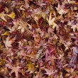 Background of japanese maple leaves in autumn - Stock Photo