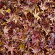 Stock Photo: Background of japanese maple leaves in autumn