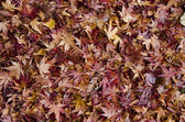 Background of japanese maple leaves in autumn — Stock Photo