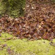 Stock Photo: Background of japanese maple leaves in autumn with moss and tree