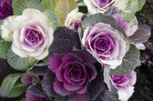Decorative cabbage, Brassica oleracea var. acephala, in Japan — Stock Photo