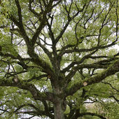 Crown of the tree seen from below — Stock Photo