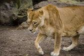 Львица — Стоковое фото