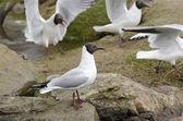 Black-headed gulls, Chroicocephalus ridibundus — Stock Photo