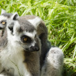 Family of ring-tailed lemurs — Stock Photo